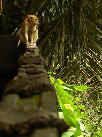 Monkey at Buddhist temple in Krabi, Thailand.