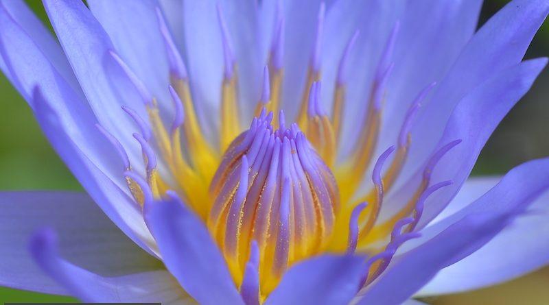 Purple lotus at meditation center in Thailand.